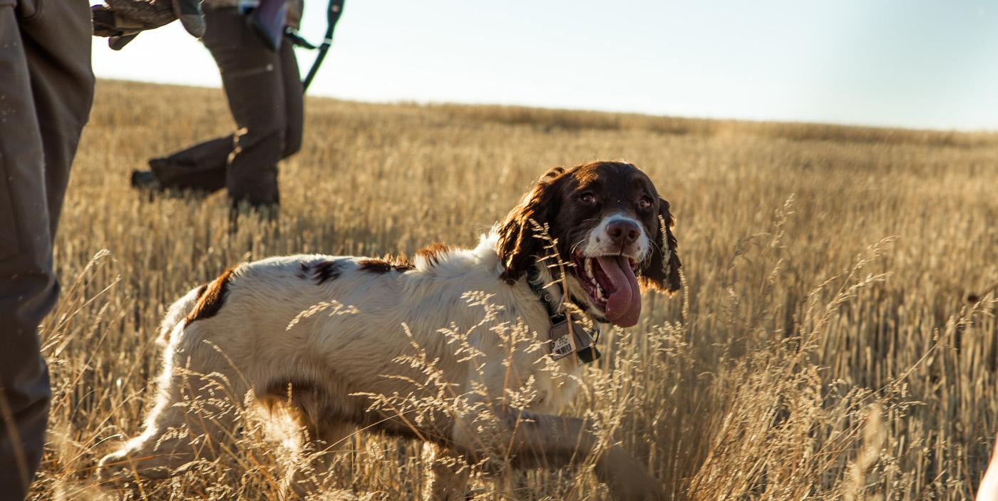 jakthundsförsäkring är ett alternativ som hundägare och jägare
